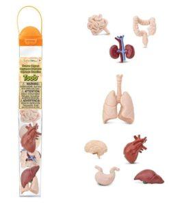Human organs TOOB / Realistic miniature organ figurines Montessori learning toy- Safari Ltd